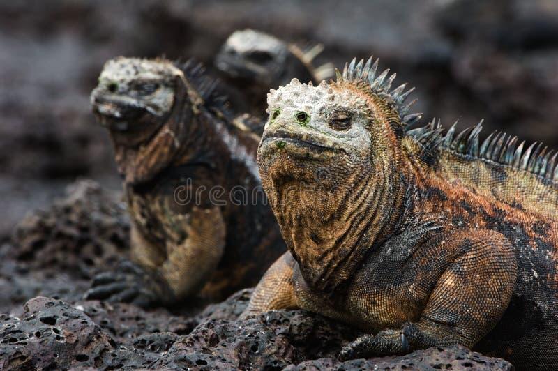 Verticale de l'iguane marin avec des parents. photo stock