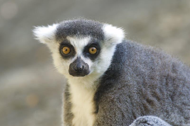 Verticale de Lemur Ring-tailed images libres de droits