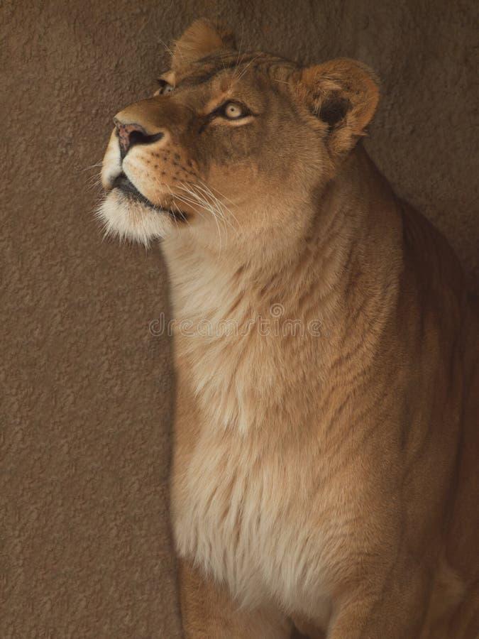 Verticale de lionne photographie stock libre de droits