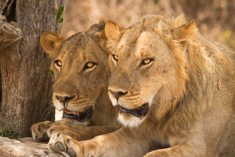 Verticale de lions photo libre de droits