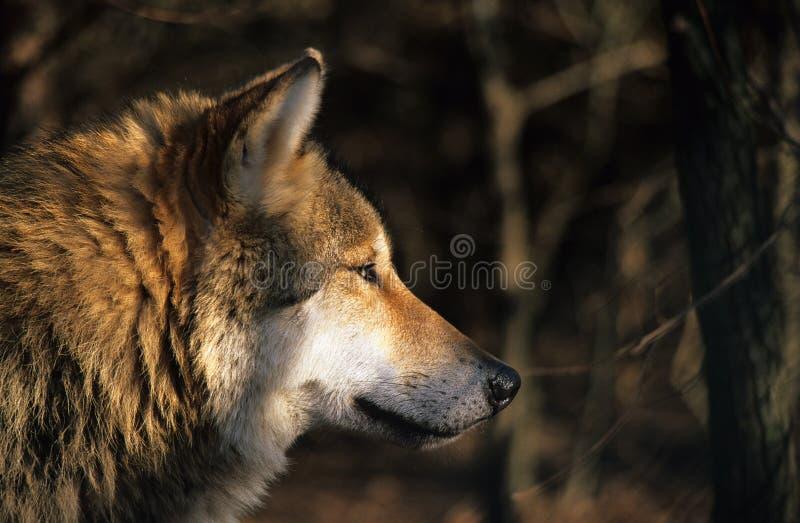 Verticale de loup images libres de droits