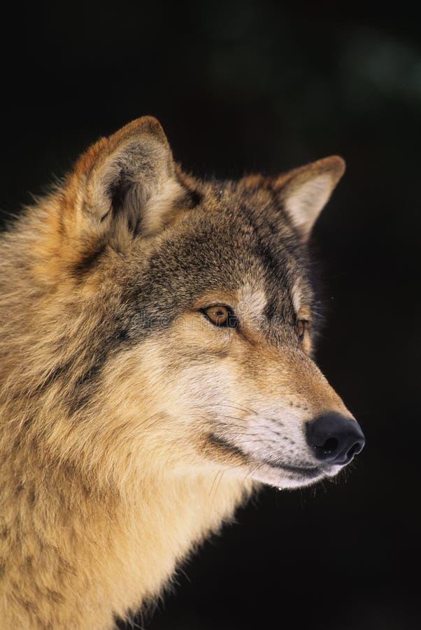 Verticale de loup gris image stock