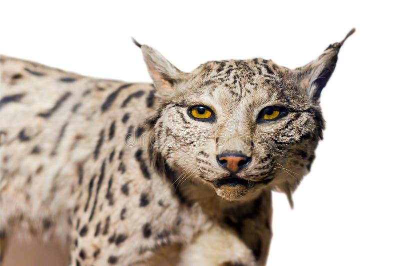 Verticale De Lynx Image libre de droits