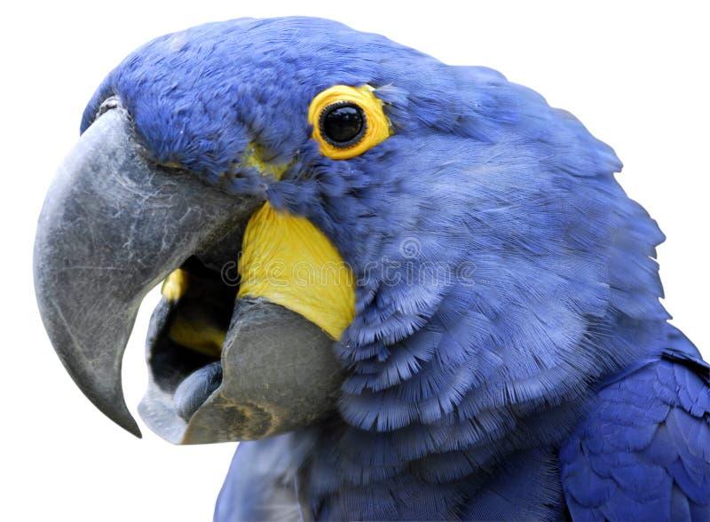 verticale de macaw d'isolement par jacinthe photo libre de droits