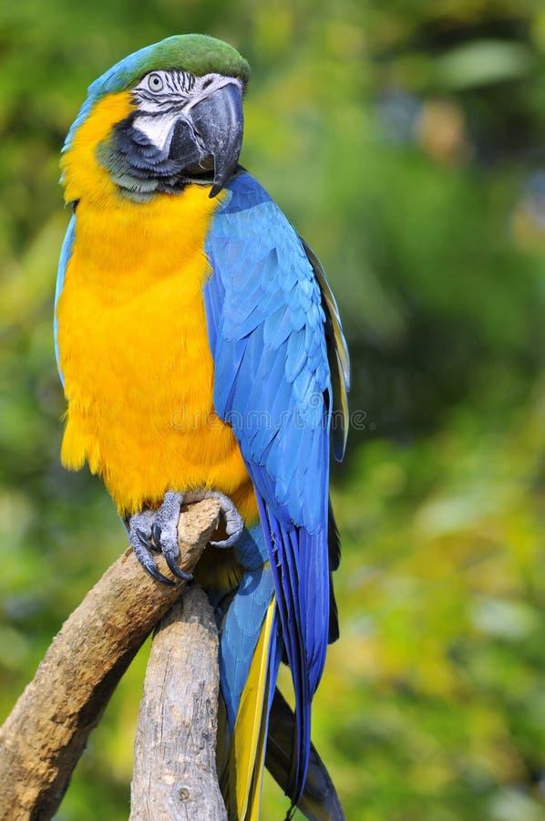 Verticale de macaw de gelbbrustara sur la perche images stock