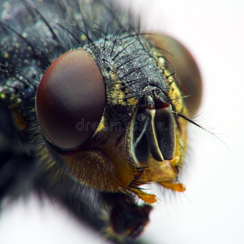 Verticale de mouche domestique photo libre de droits