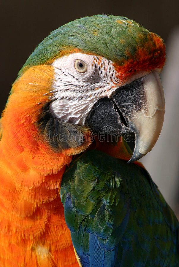 Verticale de perroquet photo libre de droits