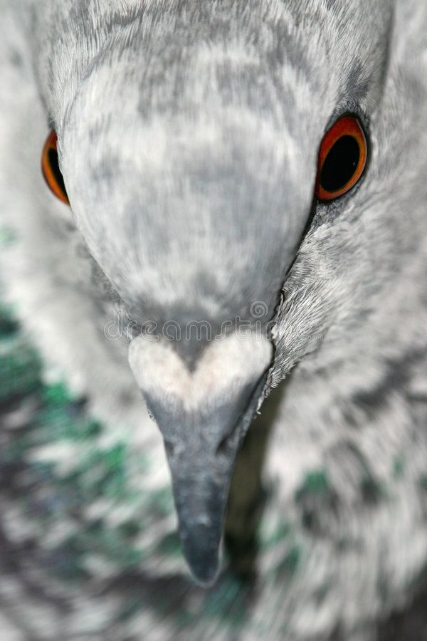 Verticale de pigeon photo libre de droits