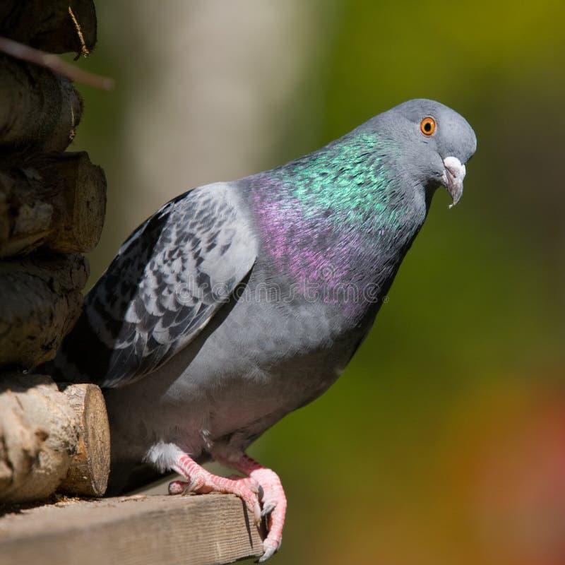 Verticale de pigeon photo stock