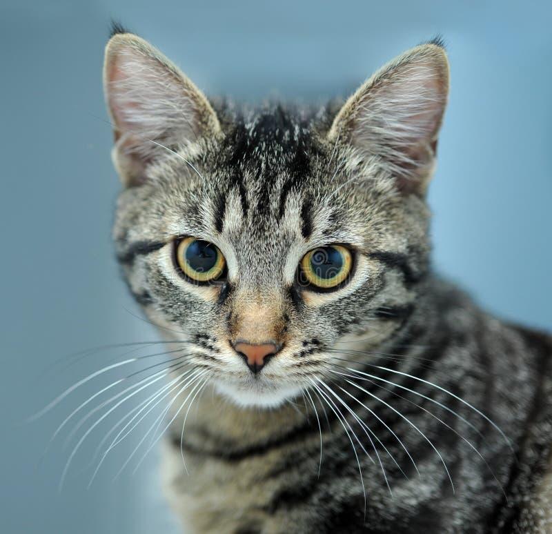 Verticale de plan rapproché de chat rayé   images libres de droits