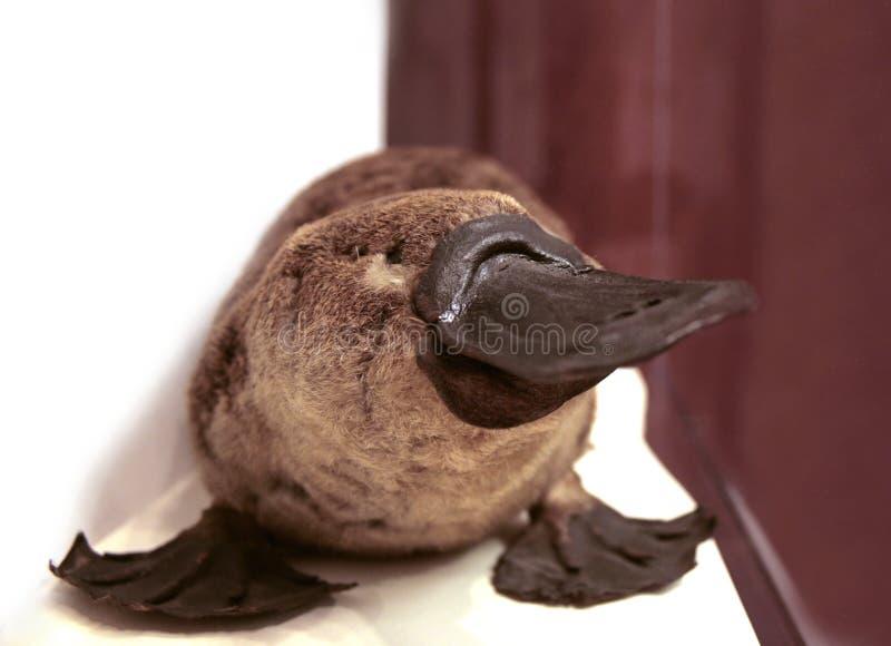 Verticale de Platypus image libre de droits