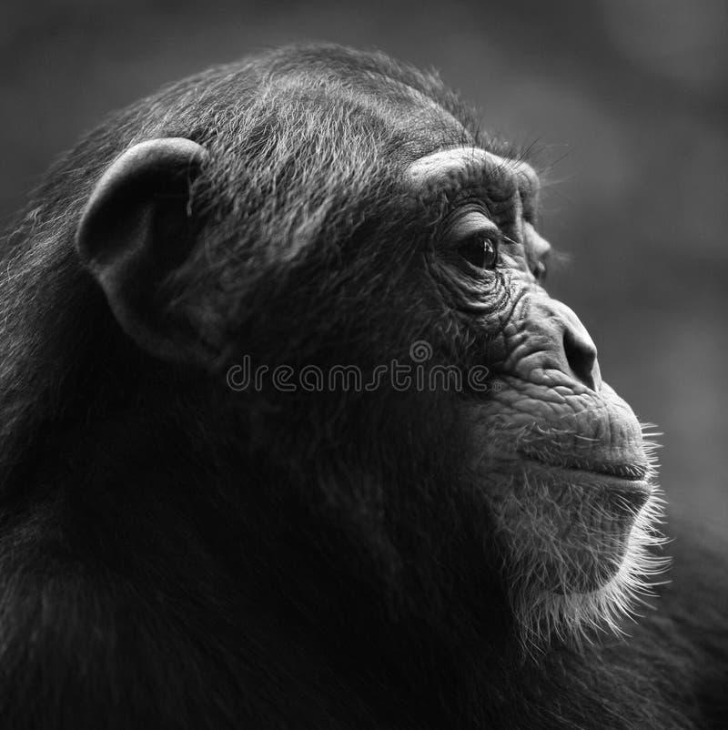 Verticale de profil de chimpanzé image stock