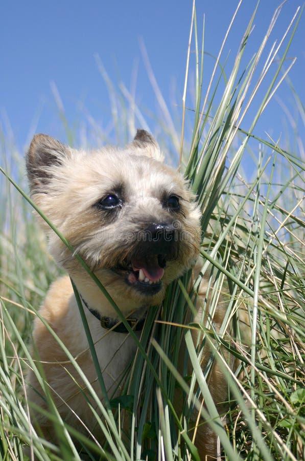 Verticale de race de chien terrier de cairn images libres de droits