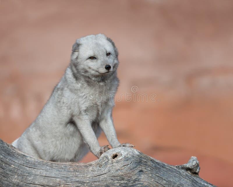 verticale de renard arctique image stock