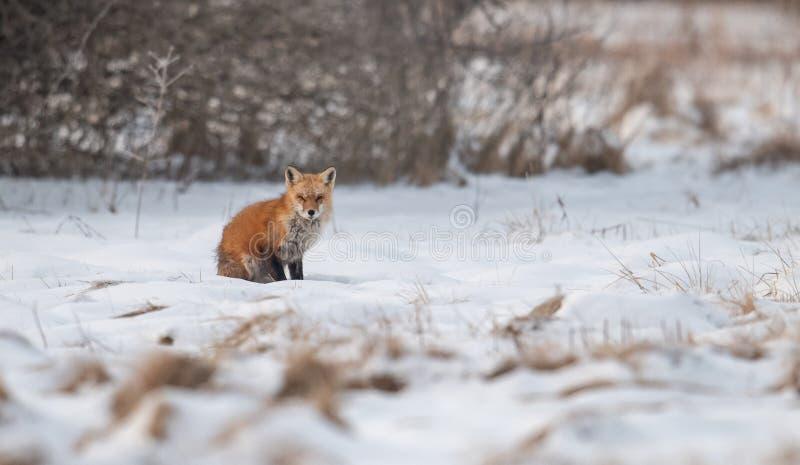 Verticale de renard rouge image libre de droits