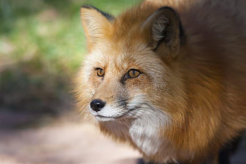 Verticale de renard rouge image stock