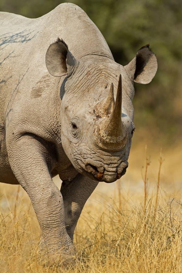 Verticale de rhinocéros noir images libres de droits