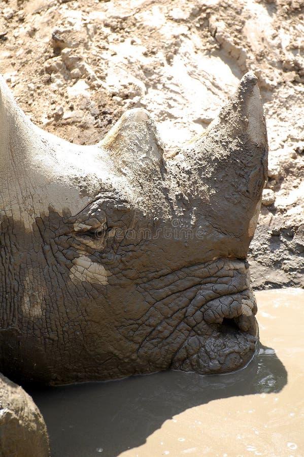 Verticale de rhinocéros noir photographie stock libre de droits