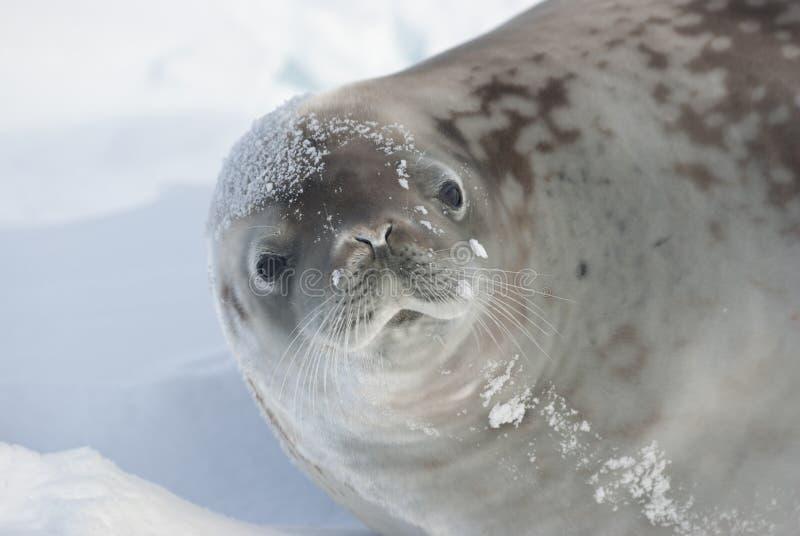 Verticale de sceau de crabier se trouvant sur la glace. image libre de droits