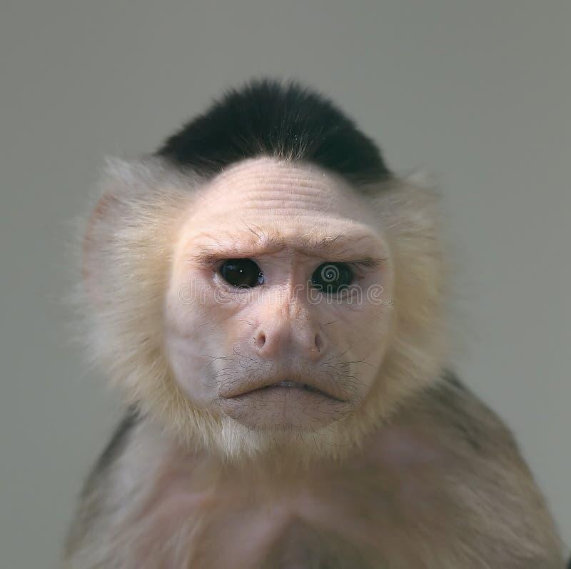 Verticale de singe de capucin image libre de droits