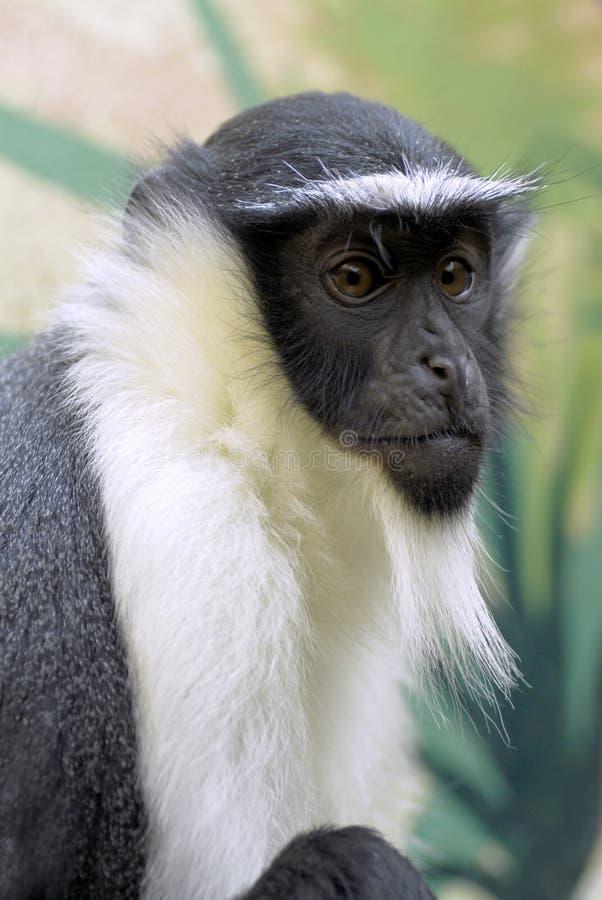 verticale de singe de Diana images libres de droits