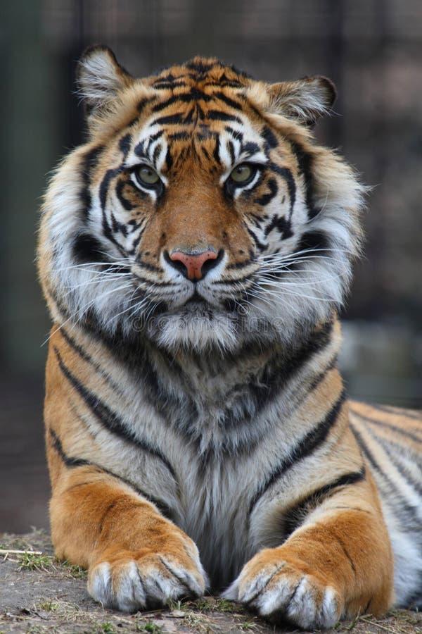 Verticale de tigre photo libre de droits