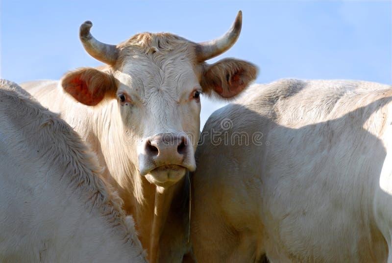 Verticale de vache photo stock
