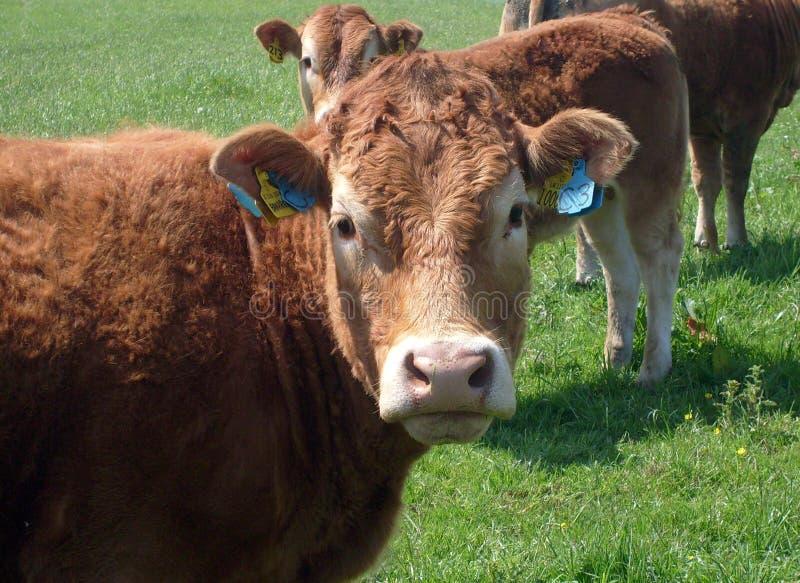 Verticale de vache de boucherie image stock
