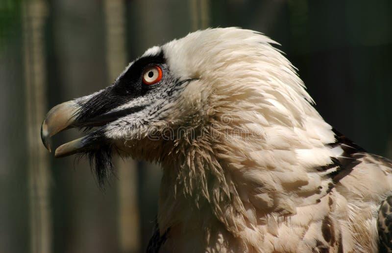 Verticale de vautour barbu image stock
