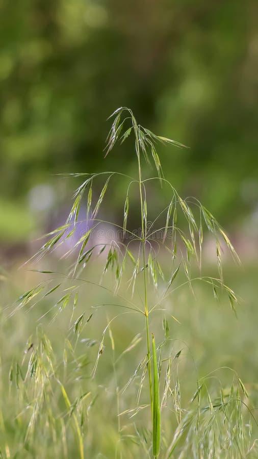 Verticale Dichte omhooggaande mening van groene installatie met kleine bladeren en breekbare stammen in het bos royalty-vrije stock afbeelding