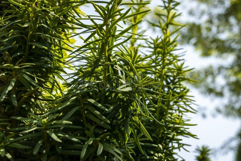 Verticale donkergroene takken van taxushouttaxus baccata Fastigiata Aurea in openlucht royalty-vrije stock afbeeldingen