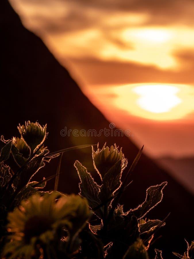 verticale dramatische zonsondergang achter bloemen, silhouet van bloemen met de zomer gouden zonsondergang die bij bloemen glanze stock foto's