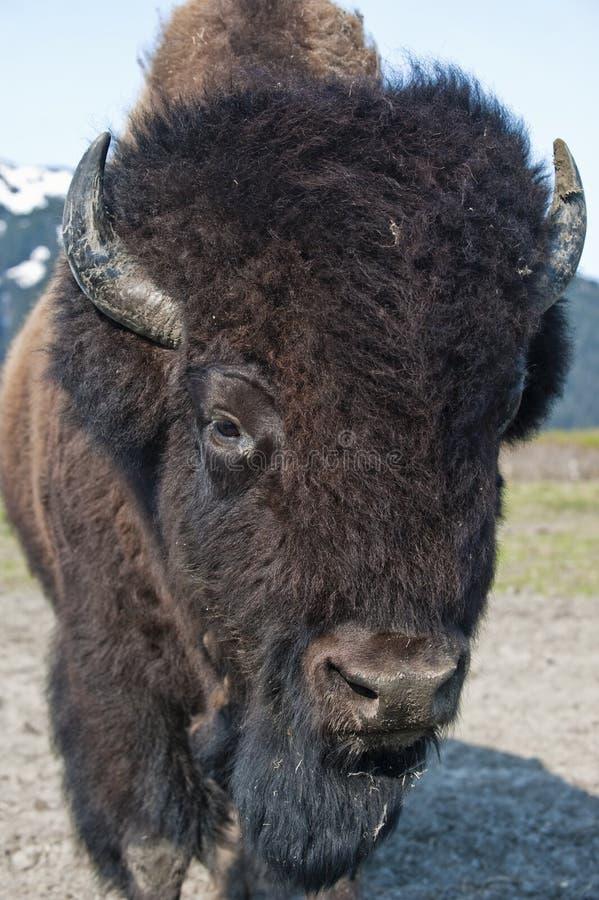 Verticale du bison en bois images stock
