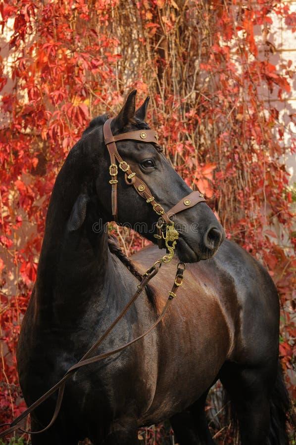 Verticale du cheval frison image libre de droits