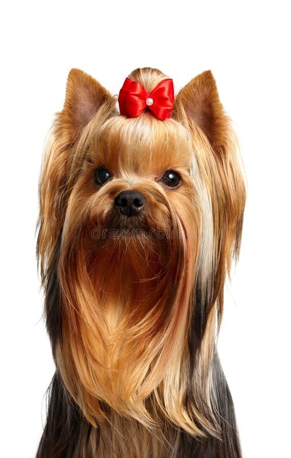 Verticale du jeune chien terrier de Yorkshire photo stock