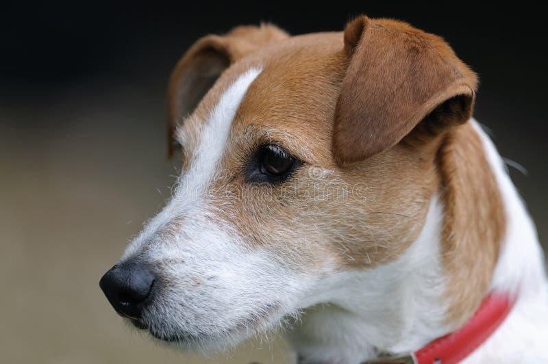 Verticale enduite lisse de chien terrier de Jack Russell de pasteur photos libres de droits