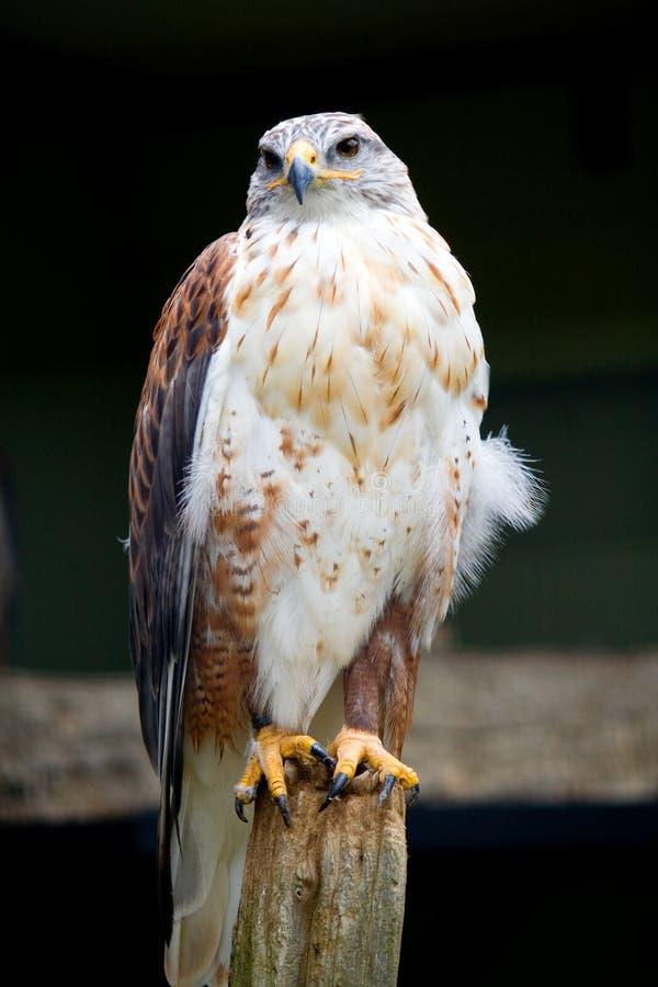 Verticale ferrugineuse de faucon photos libres de droits