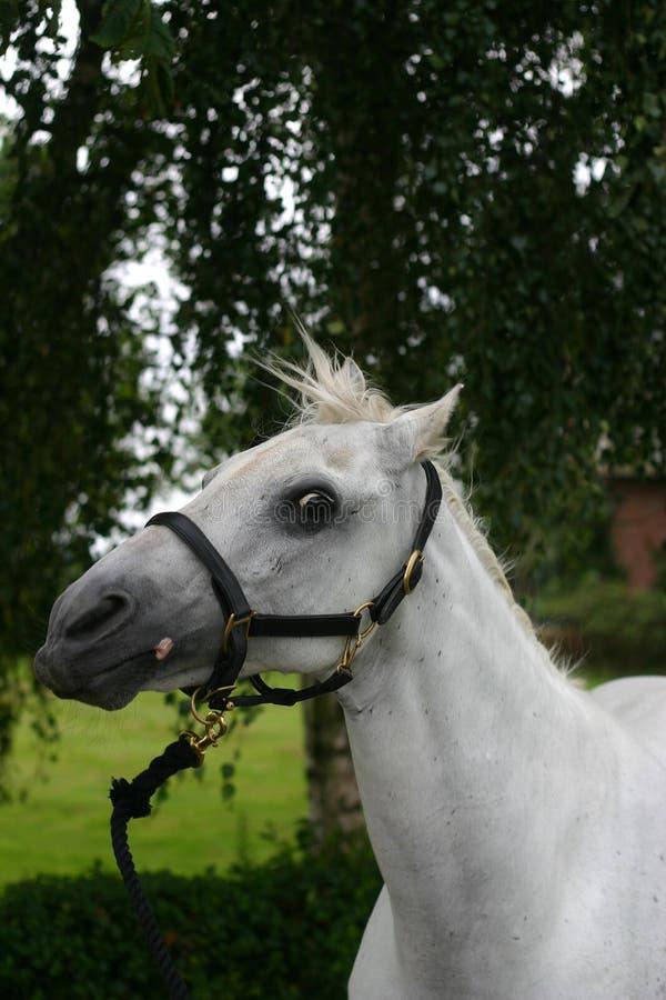 Verticale folle de cheval image stock
