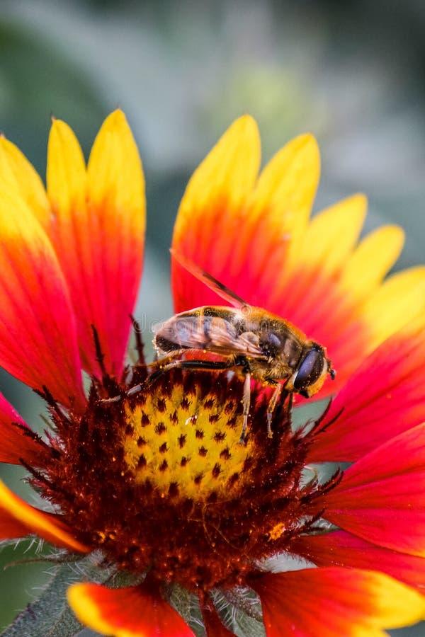 Verticale foto van een honingbij die rode en gele bloem bestuiven bestuivers Het verzamelen van nectar, honing Overdracht van stu stock afbeelding