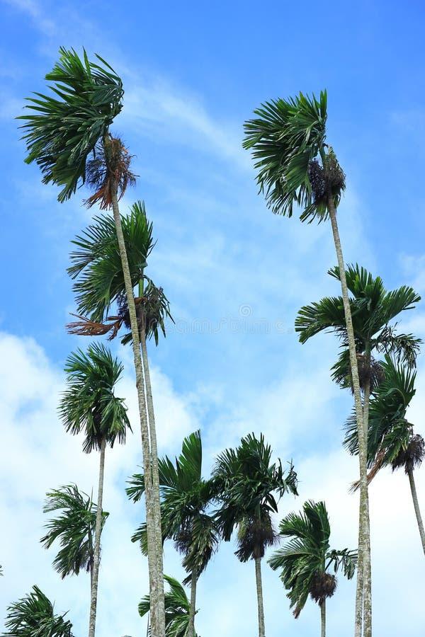 Verticale Foto van Groen Sugar Trees Blowing in de Wind onder Blauwe Hemel van Thailand stock afbeeldingen