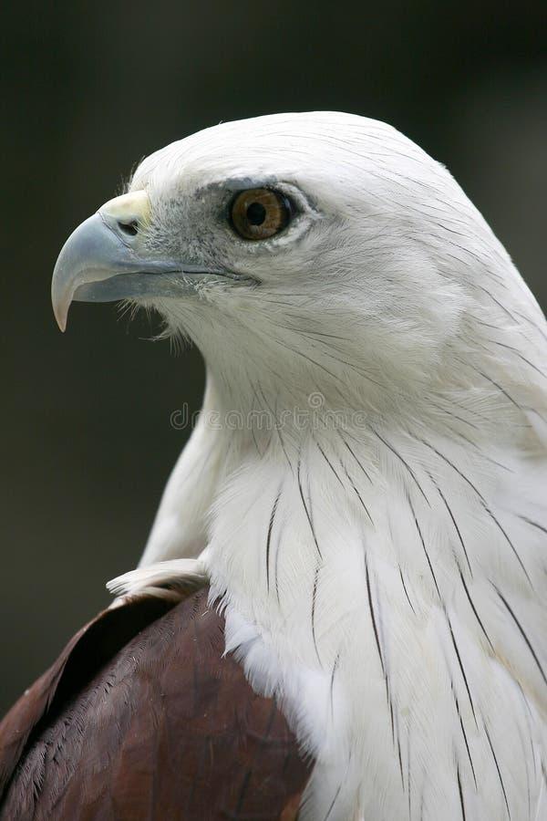 Verticale gonflée blanche de profil d'aigle de mer images libres de droits