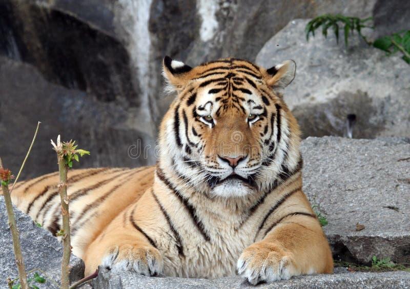 Verticale indienne de tigre images libres de droits
