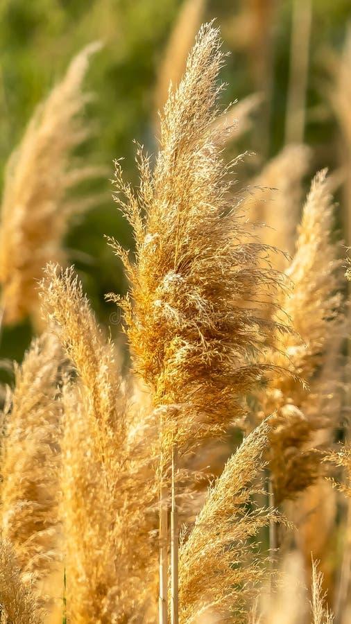 Verticale kader Dichte omhooggaande mening van geelachtig bruine die grassen door zonlicht op een zonnige dag worden verlicht royalty-vrije stock foto's