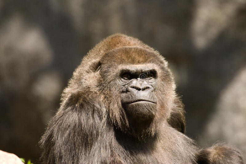 Verticale mâle de gorille photos stock
