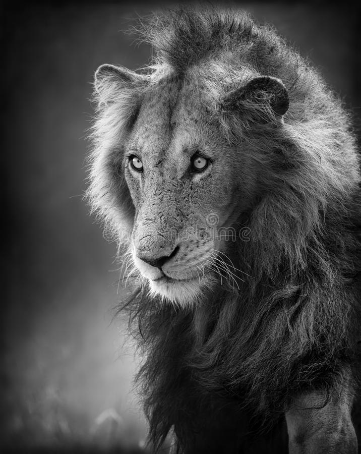 Verticale mâle de lion (traitement artistique) image libre de droits