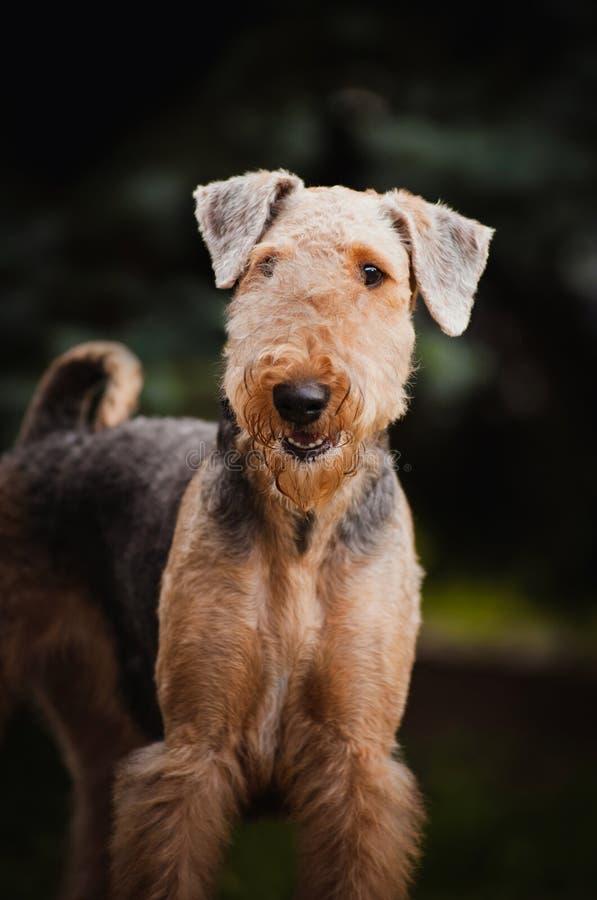 Verticale mignonne de chien terrier d'Airedale photographie stock libre de droits