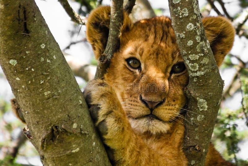 Verticale mignonne de Cub de lion photo libre de droits