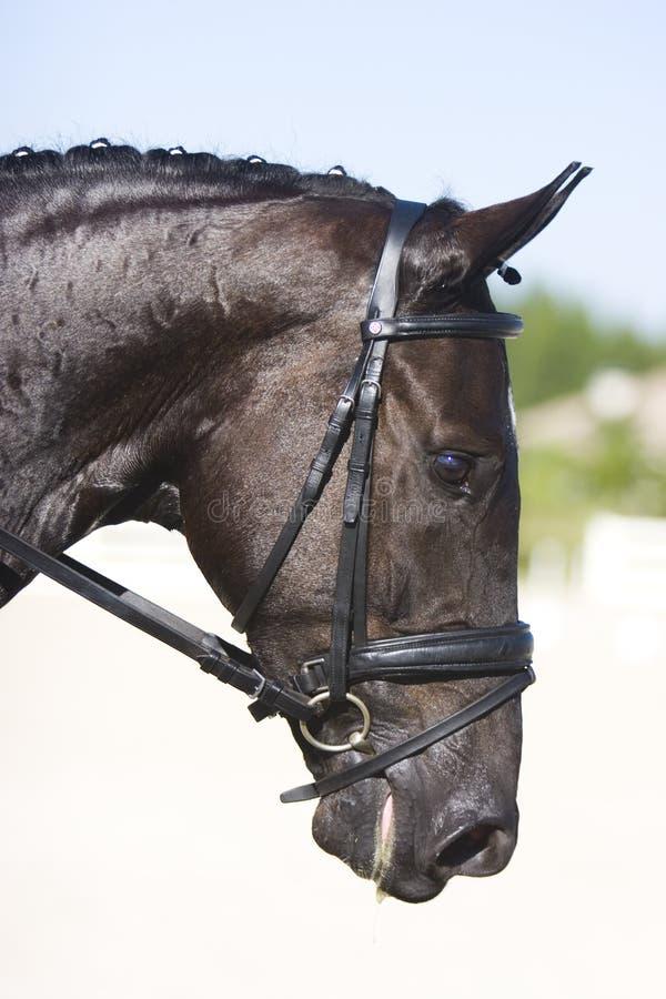 Verticale noire de cheval de dressage image libre de droits