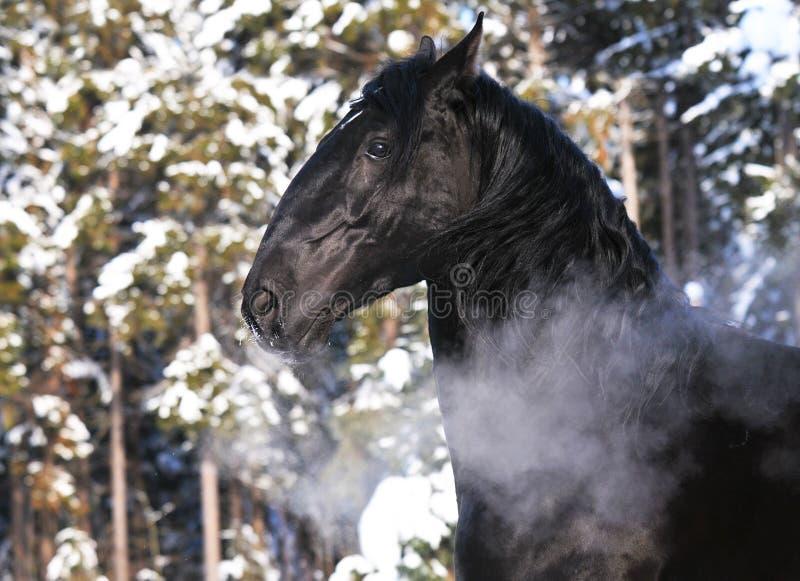 Verticale noire de cheval de Kladruber en hiver photo libre de droits
