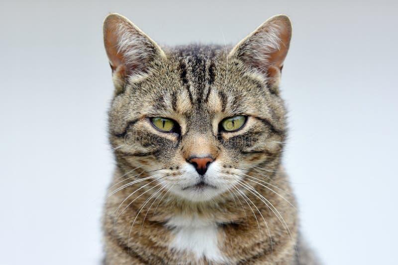 Verticale rayée de chat photo libre de droits